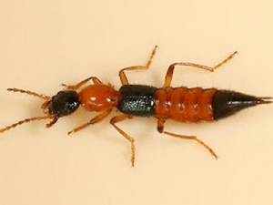 148139_kumbang-tomcat